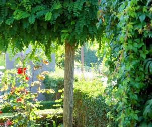 Für Gärten mit geringer Fläche und Vorgärten empfehlen Landschaftsgärtner häufig klein bleibende Bäume mit kugelförmiger Krone, wie z.B. diese Kugel-Robinie. Bild: BGL