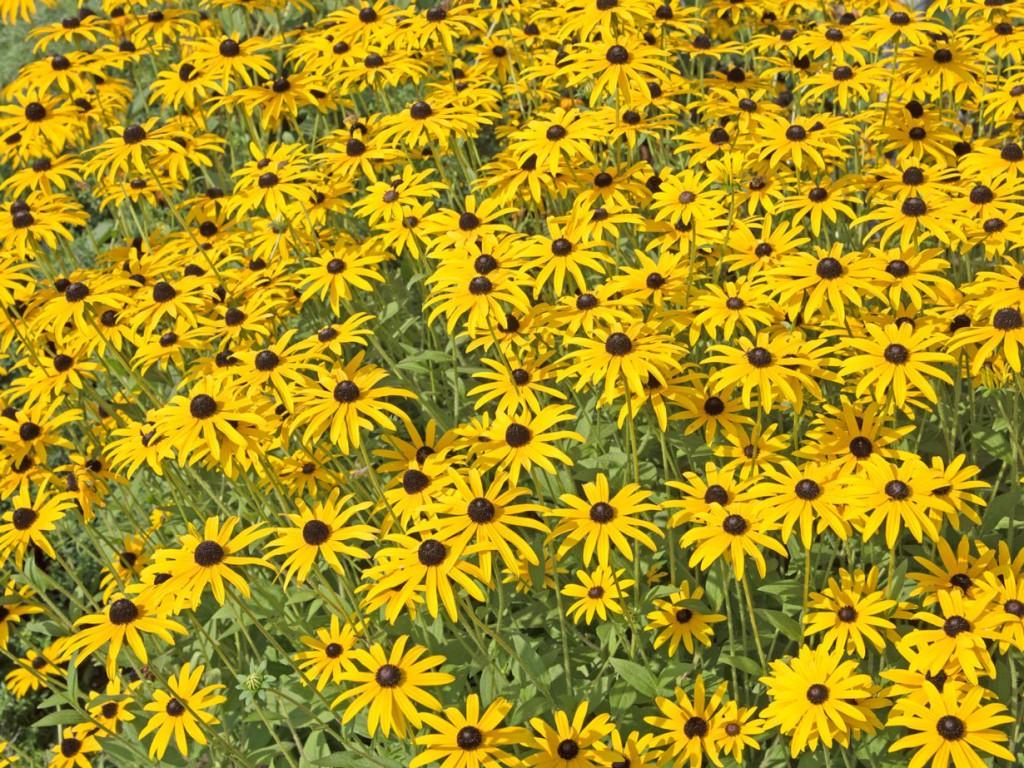 Der Sonnenhut kann ein Blickfang sein im New German Style Garten. Bild: fotolia