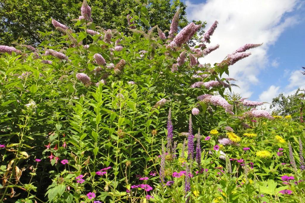 Der Schmetterlingsstrauch lockt mit seinen Blütenrispen den ganzen Sommer lang hübsche Falter in den Garten. Bild: BGL