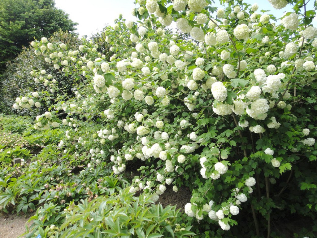 Ab Frühsommer bildet der Schneeball seine weißen Blütenbälle aus. Bild: BGL