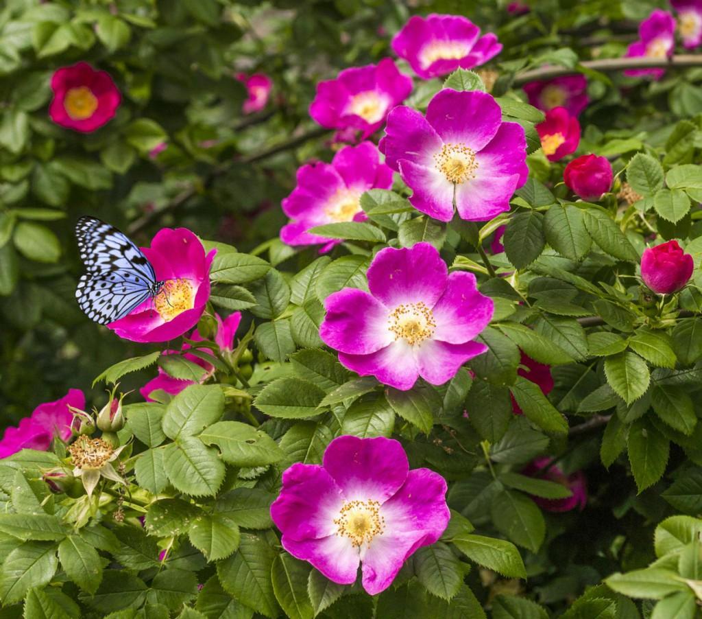 Landschaftsgärtner empfehlen, für Hecken Rosensorten in Pastelltönen zu wählen, denn sie leuchten stark und heben sich gut vom Grün der Hecke ab. Bild: fotolia