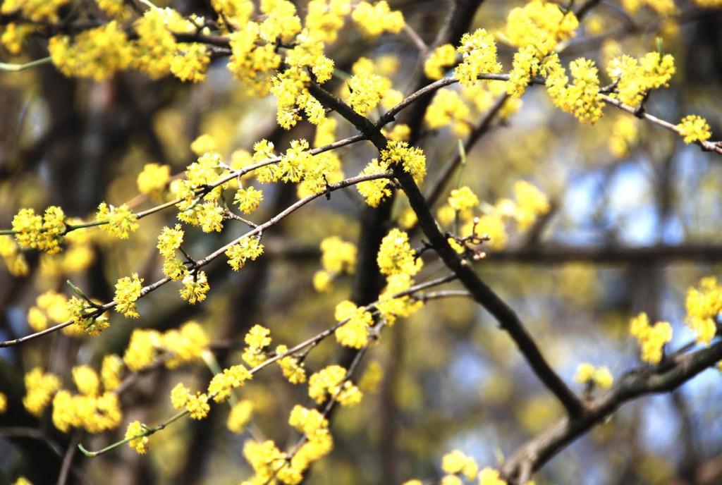 Gehölze wie die Kornelkirsche haben ihre Haupt-Blütezeit noch vor dem Blattaustrieb von Januar bis April. Bild: BGL