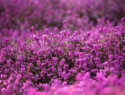 Heidegärten sind unkompliziert und brauchen keine besondere Pflege. In der Natur sind es die Heidschnucken, die die Pflanzen kurz halten. Für diesen wichtigen Rückschnitt muss man im Garten zumeist selber sorgen. Bild: fotolia