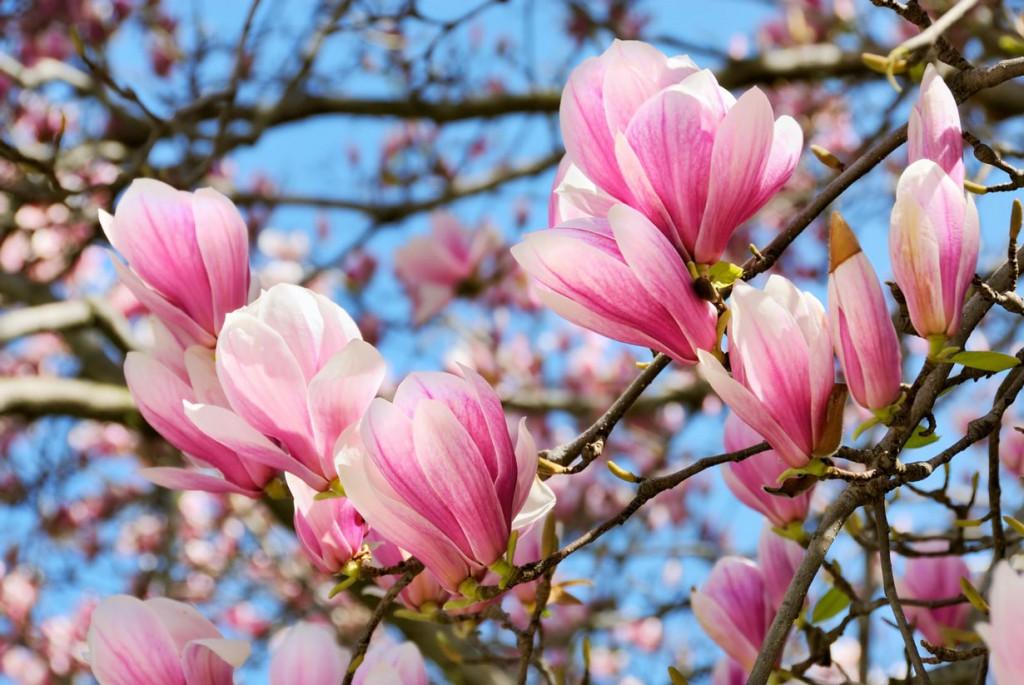 Magnolien sorgen für kräftige Farben im Garten. Bild: fotolia
