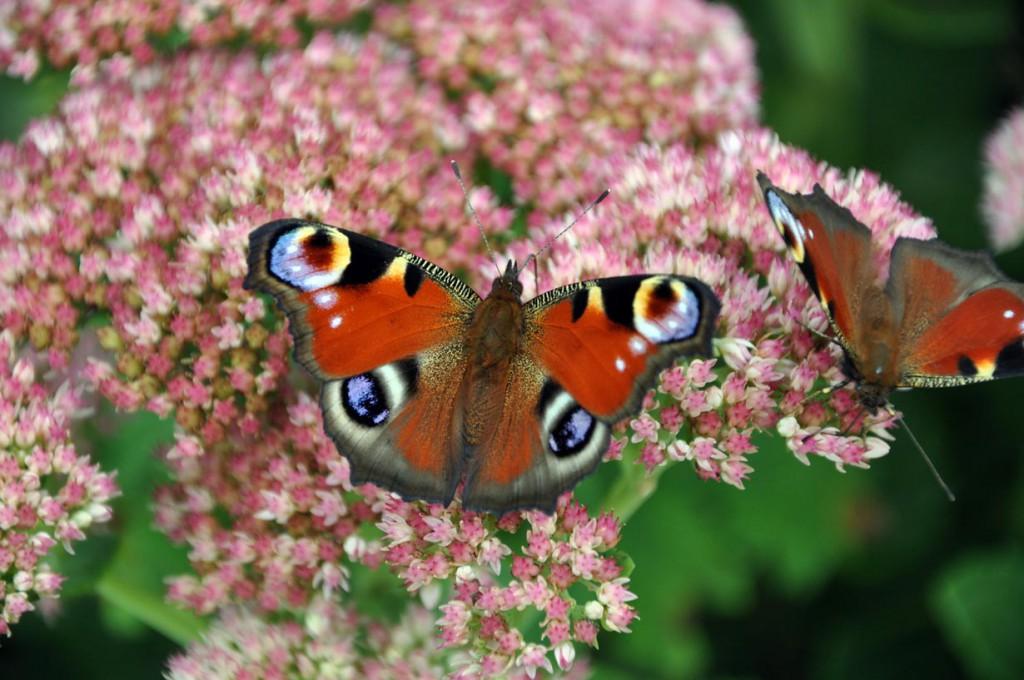 Schmetterlinge und andere Insekten fühlen sich wohl im New German Style Garten. Bild: fotolia