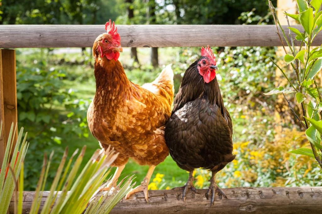 Was spricht dagegen, wie früher Hühner im eigenen Garten zu halten? Bild: fotolia