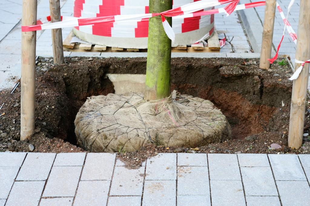 Damit der gepflanzte Baum anwurzeln kann, muss dieser richtig befestigt werden. Dazu sollten um den Ballen herum drei bis vier Holzpfosten in den Boden gerammt werden und oben mit Holzlatten verbunden werden. Anschließend sollte der Stamm mit einem Strick an den Pfosten festgebunden werden. Bild: fotolia