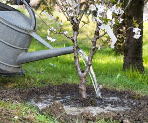 Regelmäßiges Giessen ist bei einem neu gepflanzten Baum sehr wichtig. Bild: fotolia