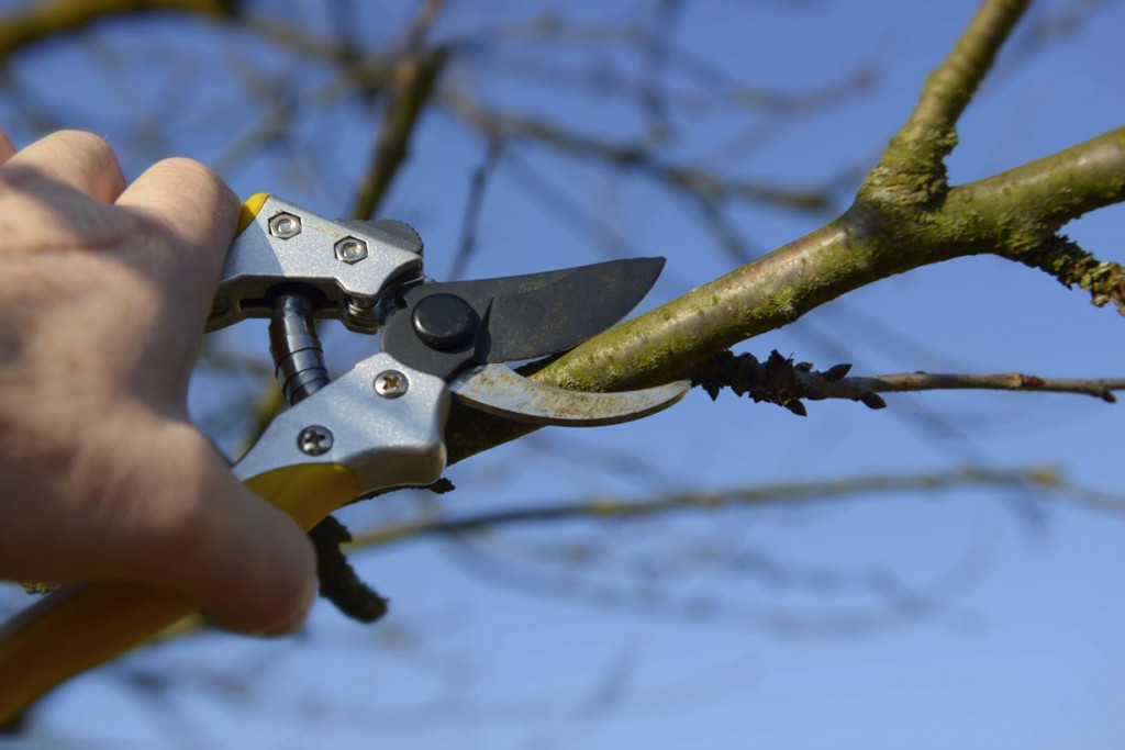 Damit Bäume und Sträucher stärker treiben und gesund bleiben, sollten ihre Äste und Triebe im Frühjahr zurückgeschnitten werden. Bild: tdx/fotolia
