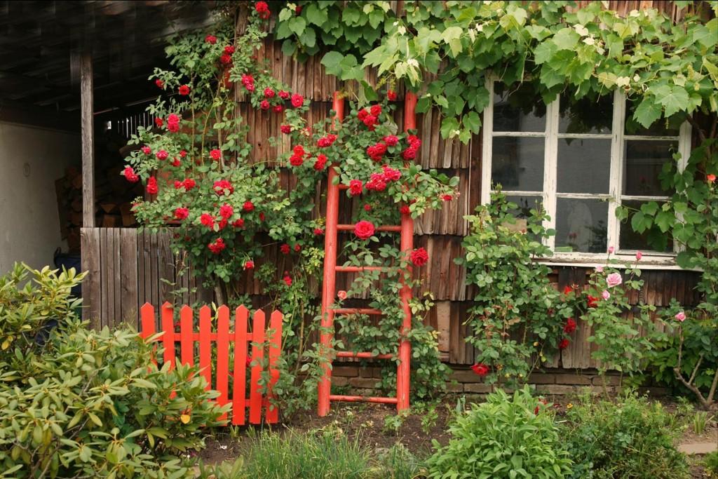 Auch in rustikaler Umgebung wissen Rosen zu gefallen. Bild: fotolia