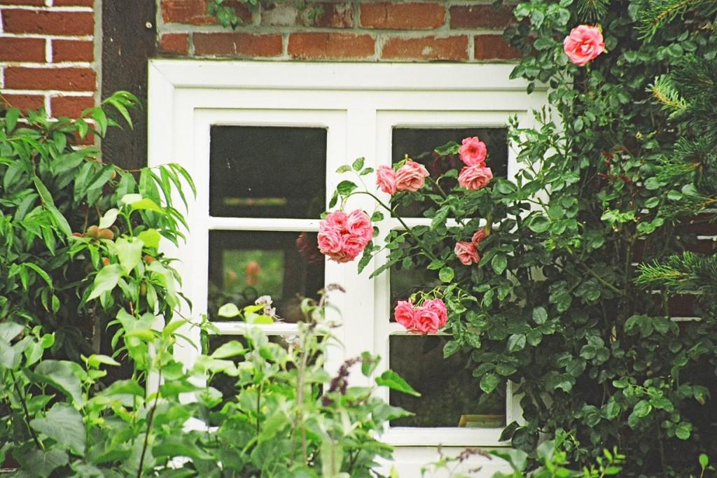 Lieblingspflanzen - zum Beispiel die Rose - sind ein Weg, attraktive Naturerlebnisse in den Alltag zu integrieren. Bild: BdB