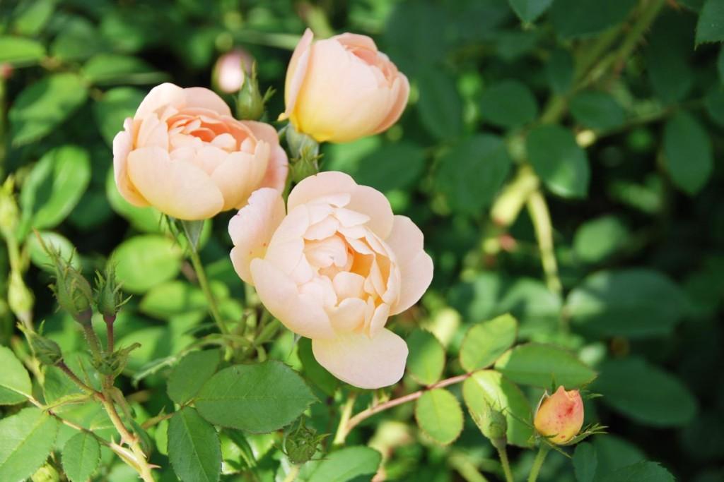 Faszinierende Gegensätze: Rosen vereinen attraktive, herrlich duftende Blüten und stachelige Triebe in einer Gartenpflanze. Bild: BdB