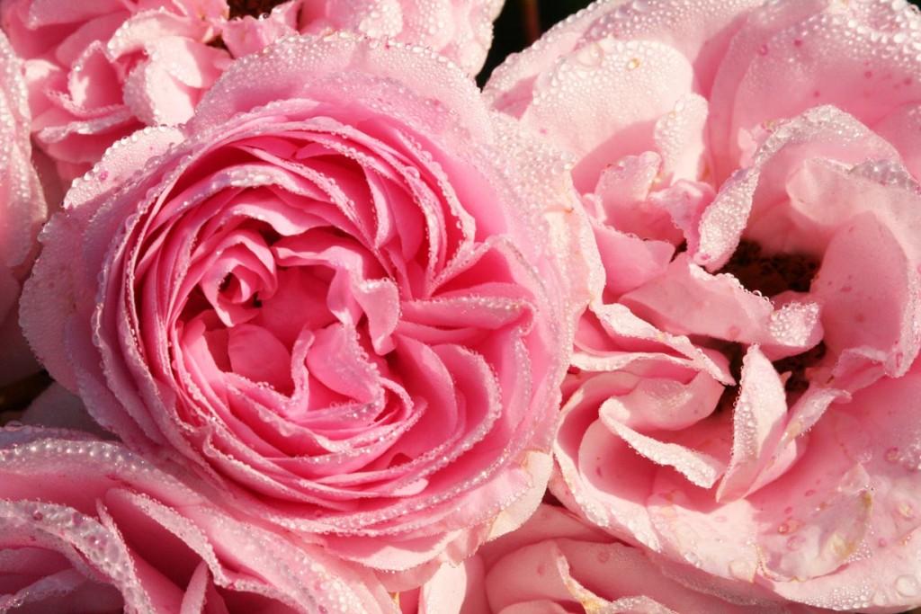 Edelrosen sind die Klassiker in jedem Rosengarten. Sie haben sehr große, edel geformte Blüten, die einzeln auf Stielen stehen. Sie eignen sich bestens auch als Schnittblumen. Bild: BdB