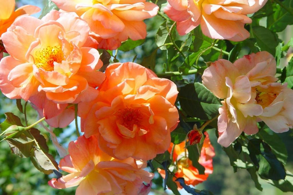 Über 30.000 Rosensorten gibt es heute. Wer in seinem Garten eine Rosensammlung anlegen will, findet jetzt im Herbst im Fachhandel eine große Auswahl. Bild: BdB