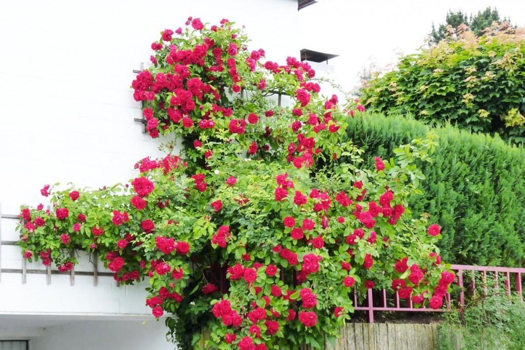 Die klassischen Kletterrosen blühen zumeist mehrmals im Jahr und können so die Hauswand vom Juli bis in den November hinein schmücken. Bild: BGL