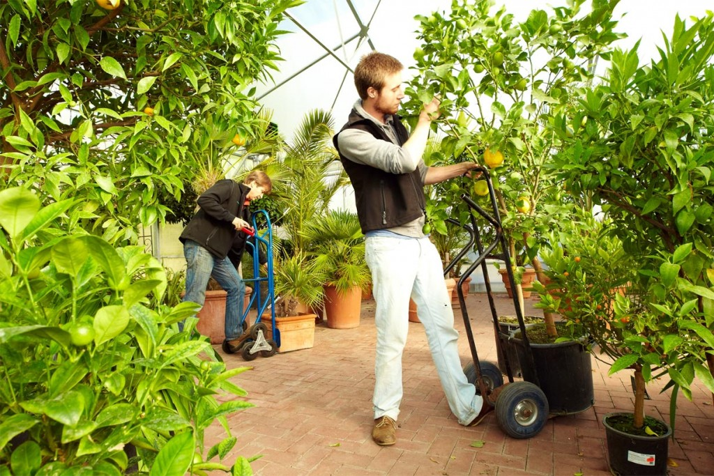 Viele Gärtnereien bieten einen Service, mit dem Kübelpflanzen richtig überwintern können. Sie holen empfindliche Kübelpflanzen ab und bringen sie gesund und kräftig im Frühjahr zurück. Bild: tdx/Das grüne Medienhaus