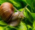 Schnecken lieben Obst, Gemüse und Blumen, sehr zum Leidwesen der Gärtner. Bild: fotolia