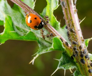 Blattläuse haben auch natürliche Feinde und können ohne chemische Mittel bekämpft werden. Bild: fotolia