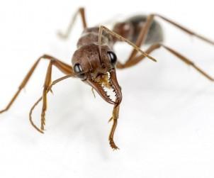 Wenn Ameisen zur Plage werden, ist guter Rat gefragt. Bild: fotolia
