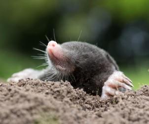 Der Maulwurf steht unter Naturschutz. Dennoch kann er im Garten ein rechter Plagegeist sein. Bild: fotolia