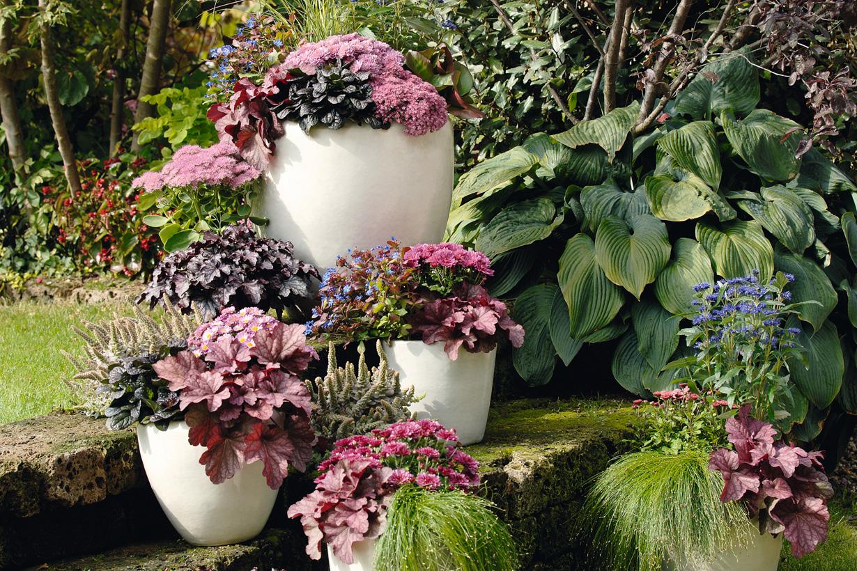 Warme Purpurtöne, etwa von Purpurglöckchen, Fetthenne und Chrysanthemen, dominieren die elegante, über mehrere Gefäße verteilte Pflan-zengesellschaft. Dazwischen setzen Bleiwurz und Bartblume Glanzlichter in leuchtendem Blau. Bild: tdx/GMH