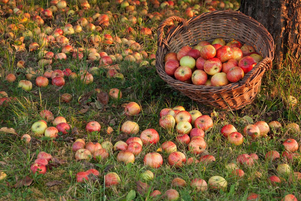 Obst, das auf dem eigenen Grundstück landet, darf behalten werden – auch wenn es ursprünglich von Nachbars Baum stammt. Nachgeholfen werden darf allerdings nicht. Ebenso dürfen Baumeigentümer nicht für die Ernte auf fremde Grundstücke. Bild: Fotolia